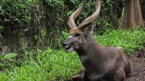 samiec jeleni muła bekowisko obraz stock