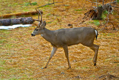 samiec jeleni muła potomstwa Zdjęcia Royalty Free