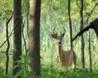 samiec jeleni whitetail potomstwa zdjęcie royalty free