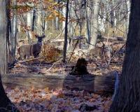 samiec jeleni whitetail potomstwa obrazy stock