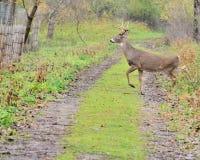 samiec jeleni whitetail potomstwa obraz royalty free