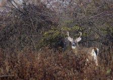 samiec jelenia whitetail Obrazy Stock