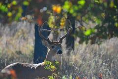 samiec jelenia whitetail Zdjęcia Stock