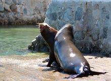 Samiec Kalifornia Denni lwy walczy each inny na łódkowaty wodowanie w Cabo San Lucas Baj Meksyk BCS MEX i gryźć Obrazy Stock