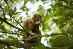 Samiec Koronował lemura, Eulemur coronatus, ogląda fotografa, Złocisty Halny park narodowy, Madagascar Fotografia Stock