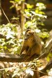 Samiec Koronował lemura, Eulemur coronatus, ogląda fotografa, Złocisty Halny park narodowy, Madagascar Obrazy Royalty Free