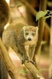 Samiec Koronował lemura, Eulemur coronatus, ogląda fotografa, Złocisty Halny park narodowy, Madagascar Obraz Stock