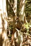 Samiec Koronował lemura, Eulemur coronatus, ogląda fotografa, Złocisty Halny park narodowy, Madagascar Obrazy Stock