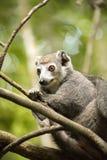 Samiec Koronował lemura, Eulemur coronatus, ogląda fotografa, Złocisty Halny park narodowy, Madagascar Fotografia Royalty Free