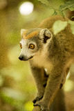 Samiec Koronował lemura, Eulemur coronatus, ogląda fotografa, Złocisty Halny park narodowy, Madagascar Zdjęcia Stock