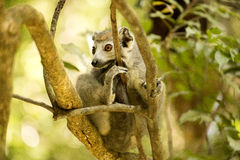 Samiec Koronował lemura, Eulemur coronatus, ogląda fotografa, Złocisty Halny park narodowy, Madagascar Zdjęcia Royalty Free