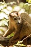 Samiec Koronował lemura, Eulemur coronatus, odpoczywa na winogradu Ankarana rezerwie, Madagascar Obrazy Royalty Free