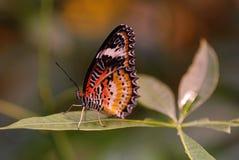 Samiec Leapord Lacewing motyl zdjęcia stock
