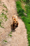 samiec niedźwiadkowy park Obrazy Royalty Free