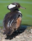 Samiec Okapturzający nurogęsi kaczki zbliżenie Zdjęcia Royalty Free