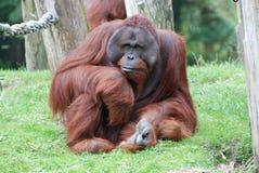 Samiec Orang Utan - siedzący i gapiący się przy zoo Zdjęcia Royalty Free