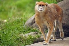 Samiec Patas małpa patroluje jego terytorium obraz royalty free