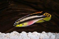 Samiec Pelvicachromis pulcher kribensis cichlid akwarium ryba Zdjęcia Stock