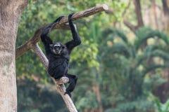 Samiec Pileated Gibbon wyłącznie czarnego futerko zdjęcie royalty free