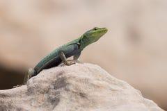 Samiec Platysaurus jaszczurka na skale w Mapungubwe, Południowa Afryka Fotografia Stock
