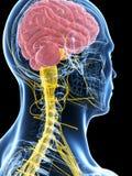 Samiec podkreślał nerwu system Obraz Royalty Free