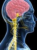 Samiec podkreślał nerwu system Obraz Stock