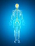 Samiec podkreślał nerwu system ilustracji