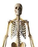 Samiec podkreślający nerwu system Obraz Royalty Free
