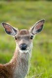 samiec portreta whitetail Fotografia Stock