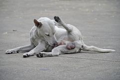 Samiec psi biały, brudny na cementowym podłogowym kolorze i Zdjęcie Stock