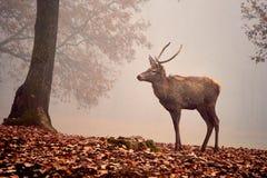 Samiec rogacza jeleń obrazy stock