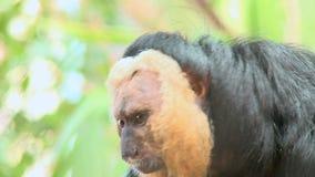 samiec saki pal stawiająca czoło małpa 2 zbiory
