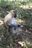 Samiec Vervet małpa która siedzi na earthen kopu pod canop Zdjęcia Royalty Free