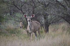Samiec w Bush i samiec naturze zdjęcie stock