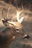 samiec whitetail Fotografia Royalty Free