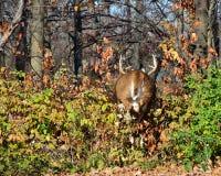 samiec whitetail jeleni działający rutting fotografia stock