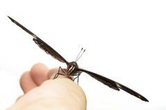 Samiec wielki eggfly motyli odpoczywać na ręce Obraz Stock
