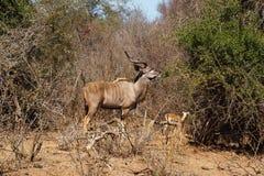 Samiec Wielki kudu Fotografia Royalty Free