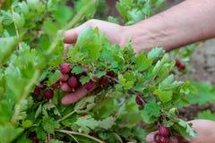 Samiec wręcza podnosić dojrzałych agresty Czerwony agrest w ogródzie Selekcyjna ostrość Zdjęcie Stock