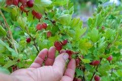 Samiec wręcza podnosić dojrzałych agresty Czerwony agrest w ogródzie Selekcyjna ostrość Zdjęcie Royalty Free