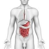 Samiec z żołądek anatomia folował ciało Zdjęcia Stock