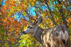Samiec z stojakiem Podczas Kolorowego sezonu jesiennego Zdjęcia Royalty Free