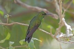 Samiec zieleni Koronowany Genialny Hummingbird fotografia royalty free