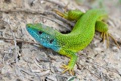 Samiec zielona jaszczurka - Lacerta viridis Obraz Stock