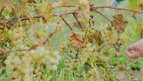Samla den generösa skörden i vingården Händer med sax, försiktigt snitt av en grupp av druvor lager videofilmer