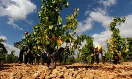 Samla druvor på bygdfält i mallorca royaltyfri fotografi