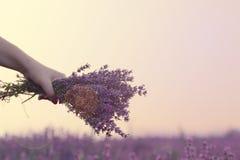Samla en bukett av lavendel Flickahand som rymmer en bukett av ny lavendel i lavendelfält Sol sologenomskinlighet, ilsken blick P Royaltyfria Bilder
