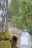 Samla fruktsaft från björkträd Royaltyfri Foto