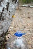 Samla fruktsaft från björkträd Fotografering för Bildbyråer