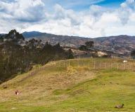 Samla gräs på Ingapirca, Ecuador royaltyfri foto